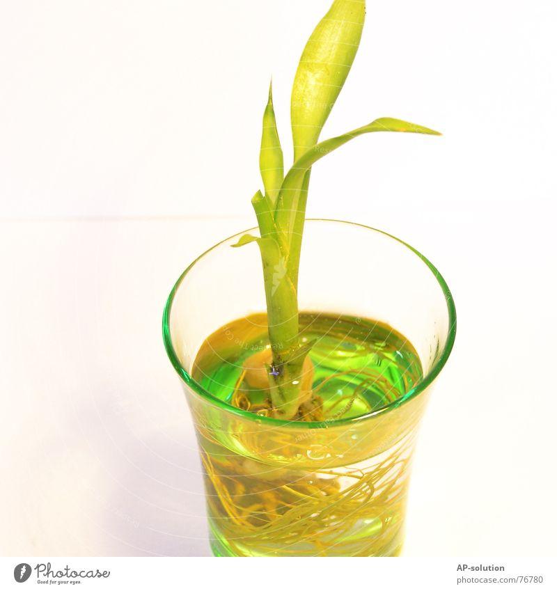 Lucky Bamboo Wasser grün Pflanze Glas Wachstum Dekoration & Verzierung Häusliches Leben Dinge Bambus Wurzel Grünpflanze gedeihen Glücksbambus