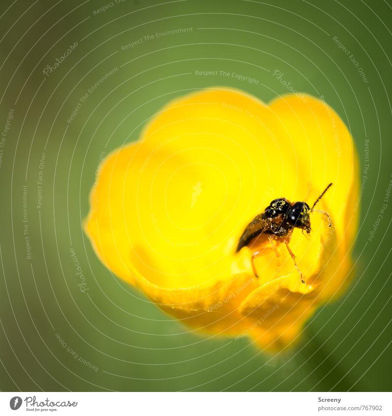 Wo geht es denn hier raus? Natur Pflanze Tier Frühling Sommer Blume Blüte Sumpf-Dotterblumen Wiese Käfer 1 Blühend Duft krabbeln Wachstum klein gelb grün