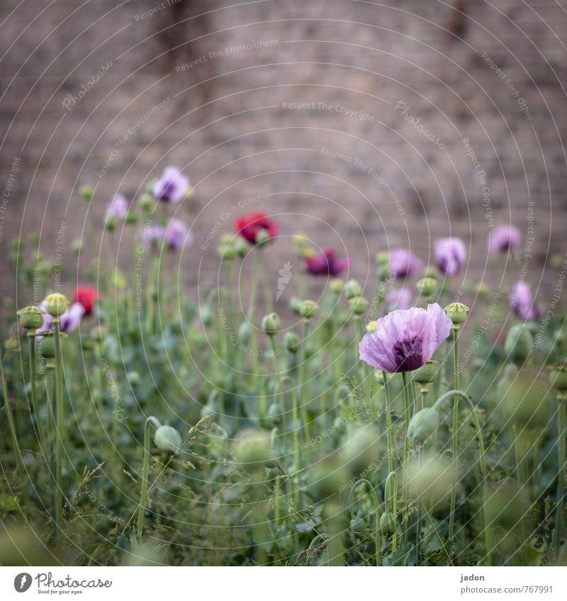 bluh muhn. Rauschmittel Medikament Pflanze Frühling Blume Gras Blüte Wildpflanze Mohnblüte Mauer Wand exotisch trashig blau rot schön Genusssucht Drogensucht