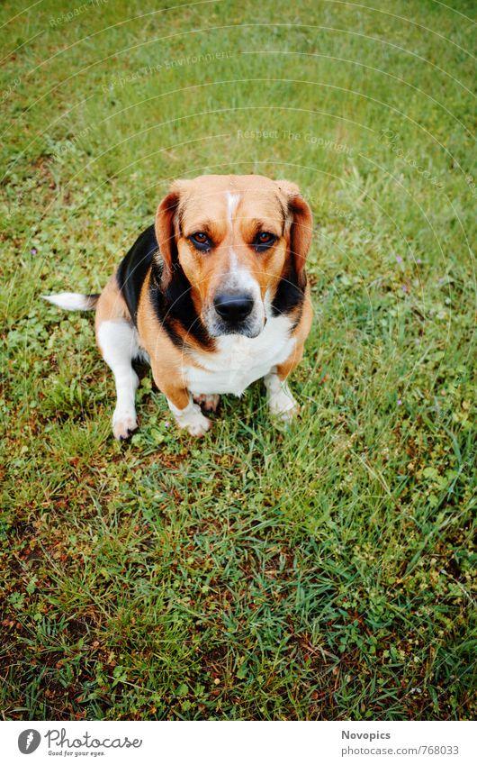 Beagle - Basset Hound Mix Hund weiß Tier schwarz braun niedlich Haustier Maul