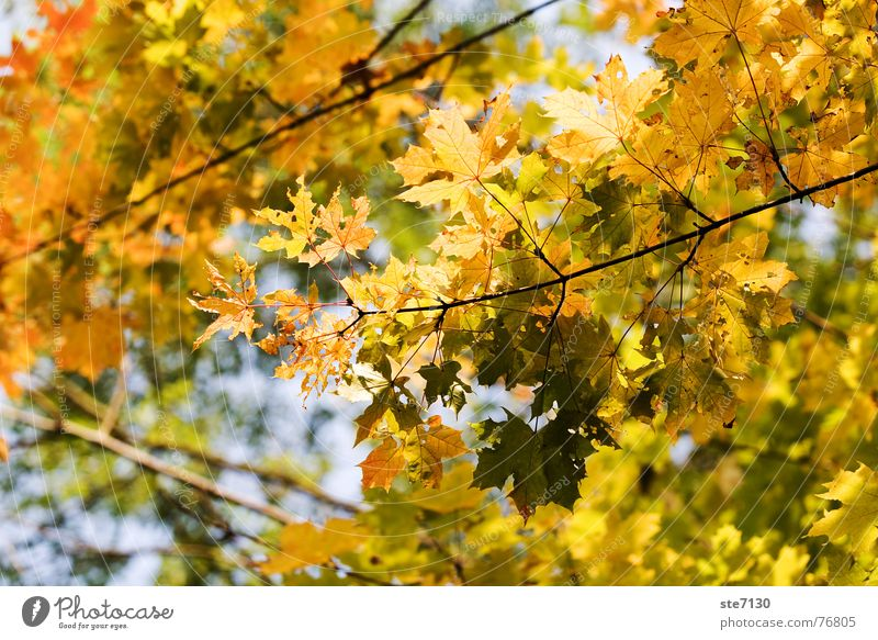 Herbstblätter Natur Baum Blatt gelb Herbst hell Deutschland Ast Mühlacker
