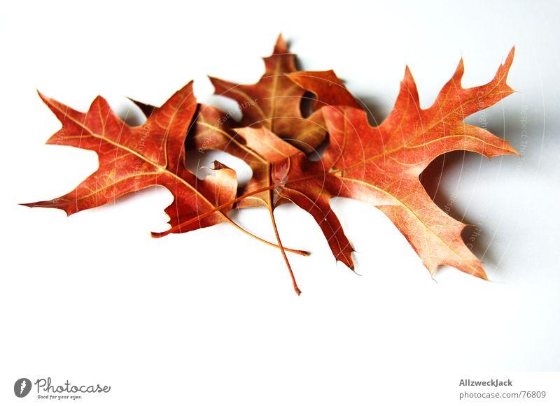 Thema: Herbstlaub / Links Licht Rechts nicht Blatt welk Eichenblatt rot Freisteller mehrfarbig