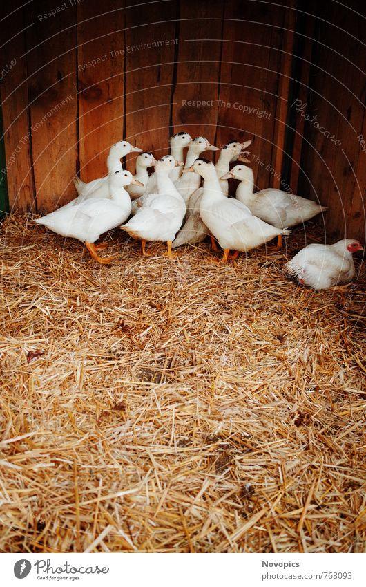 ducks Natur weiß Tier gelb Umwelt braun Vogel Tiergruppe Hütte Bioprodukte Haustier Ente Fleisch Schnabel Nutztier Herde