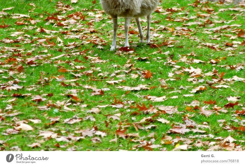 Halbsch(l)af Schaf Lamm Hälfte Einsamkeit Tier Bock Herbst Jahreszeiten Wiese Blatt Sturm Herbststurm grün Fressen Fell Schaffell geschnitten Wollsocke