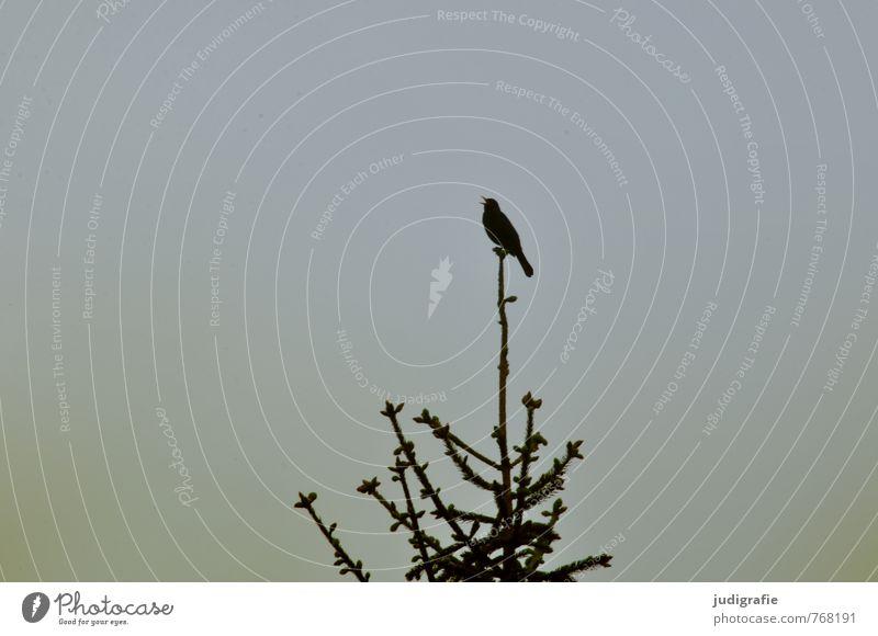 Amsels Gesang Natur Pflanze Baum Tier dunkel Wald Umwelt Leben natürlich Garten Vogel Park wild singen Gezwitscher