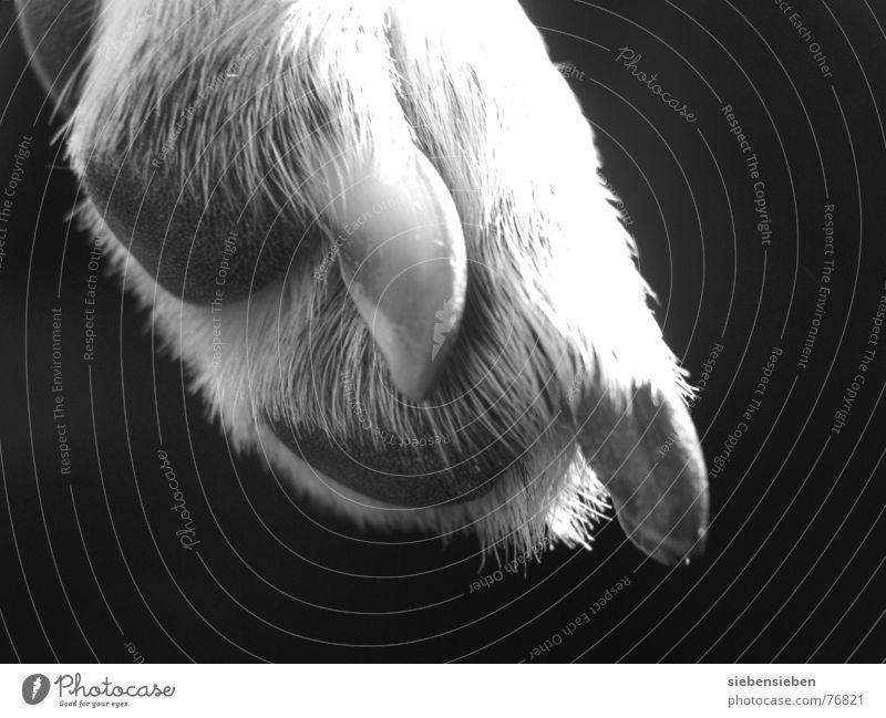 Die Pfote von Frau L. Hund Krallen Nagel Fell Tier schwarz Lebewesen weich außergewöhnlich Mischling Haustier Nahaufnahme Schwarzweißfoto Säugetier