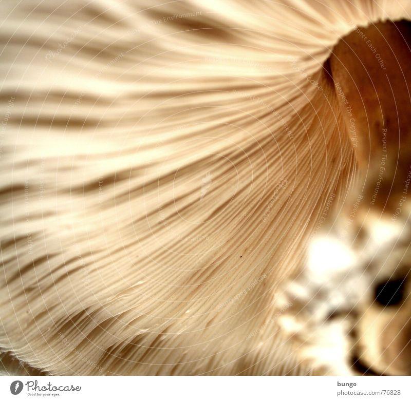 Pilz ohne Plitz Linie Wachstum Ernährung genießen Regenschirm Hut lecker Makroaufnahme Samen Vegetarische Ernährung Zwerg Lamelle Fortpflanzung Fruchtfleisch