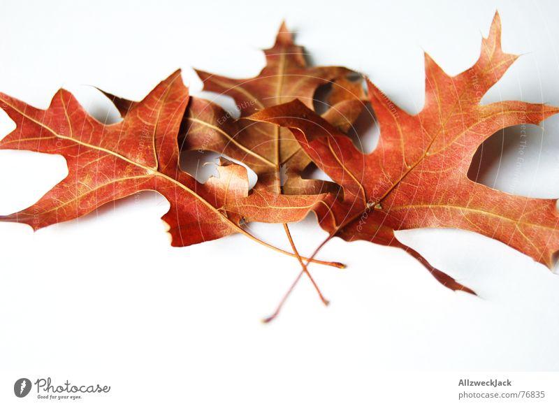 Herbstlaub Nachfüllpackung Blatt welk Eichenblatt rot Freisteller mehrfarbig