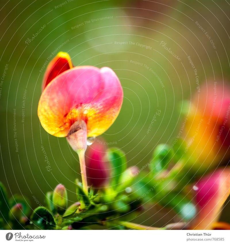Frühlingsgruss / Ginster Natur grün weiß Pflanze rot Blume Blatt gelb Umwelt Frühling Blüte hell Garten glänzend ästhetisch Schönes Wetter