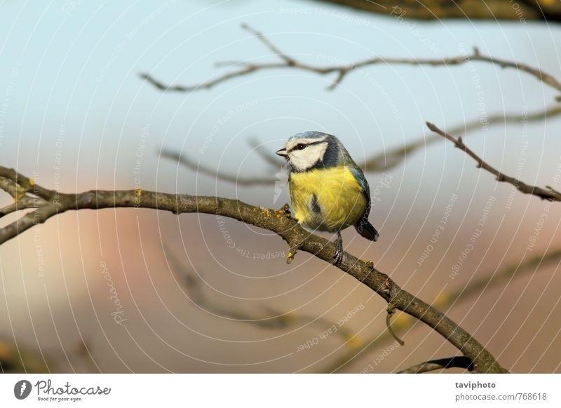 winziger Wildgartenvogel am Ast schön Leben Winter Garten Umwelt Natur Landschaft Tier Baum Wald Vogel beobachten stehen klein natürlich wild blau gelb grün