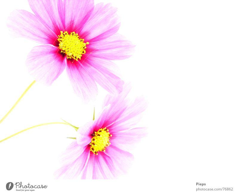 The End Of Summer Is Pink Farbfoto Innenaufnahme Textfreiraum rechts Hintergrund neutral Sommer Natur Pflanze Blume Blüte Blühend leuchten Fröhlichkeit rosa