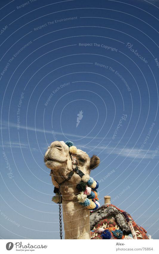 Beccy Kamel Dromedar Arabien Physik heiß Sommer Verkehrsmittel Güterverkehr & Logistik Erholung Wolken Spaziergang Knie kaputt Hochmut Sahara Wüste Himmel blau