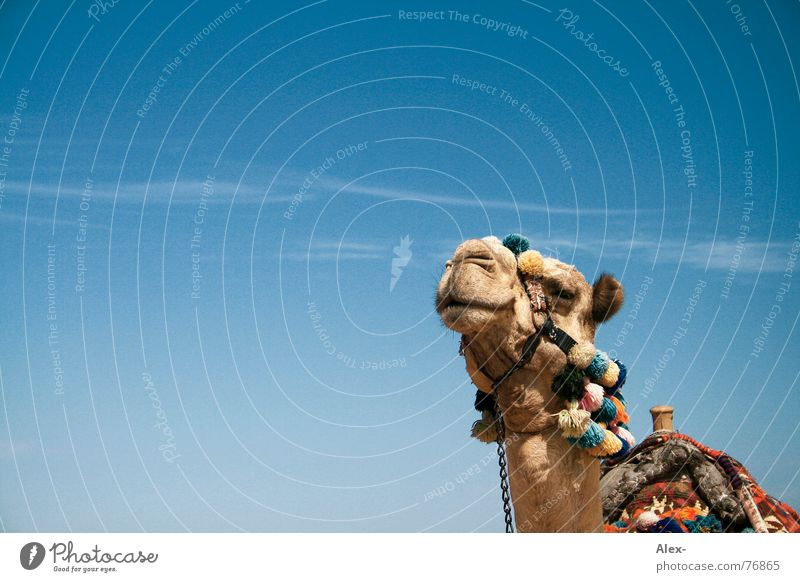 Ninino Kamel Dromedar Arabien Physik heiß Sommer Verkehrsmittel Güterverkehr & Logistik Erholung Wolken Spaziergang Knie kaputt Hochmut Sahara Wüste Himmel blau