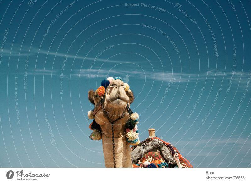 Mischa Kamel Dromedar Arabien Physik heiß Sommer Verkehrsmittel Güterverkehr & Logistik Erholung Wolken Spaziergang Knie kaputt Hochmut Sahara Wüste Himmel blau