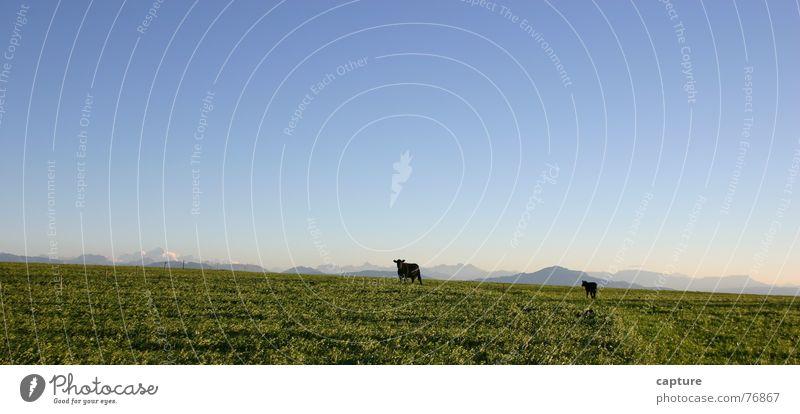 uns gehts gut hier draussen Natur Himmel grün blau Freude Tier Ferne Erholung Freiheit Landschaft Sicherheit Unendlichkeit Kuh Weide Geborgenheit Futter