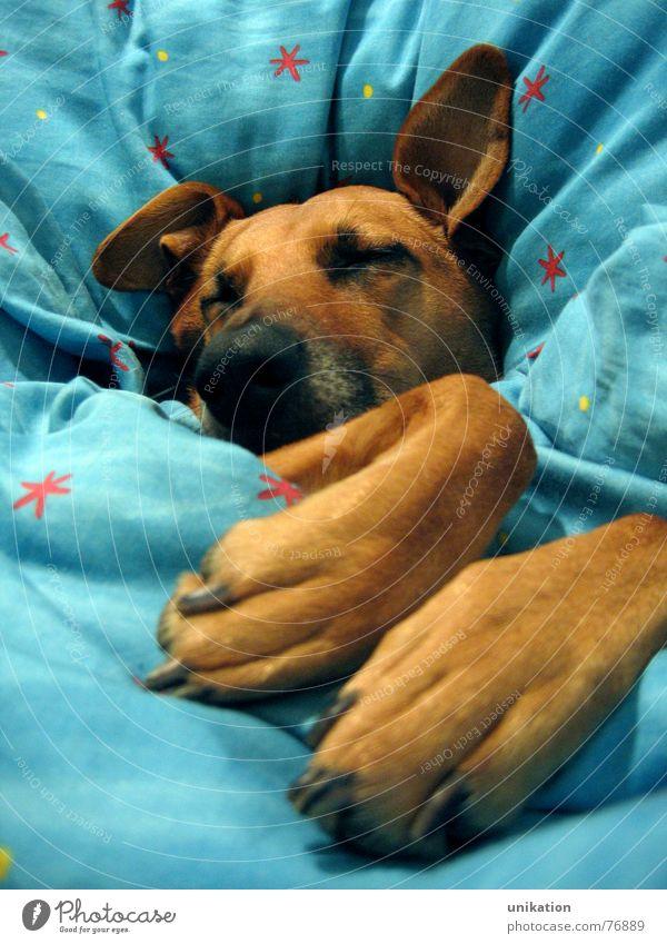 Aber Großmutter... [1] Hund Bett Bettdecke Kissen schlafen verpackt träumen Halbschlaf kalt Winter frieren Pfote Schnauze geschlossene Augen Rotkäppchen Märchen