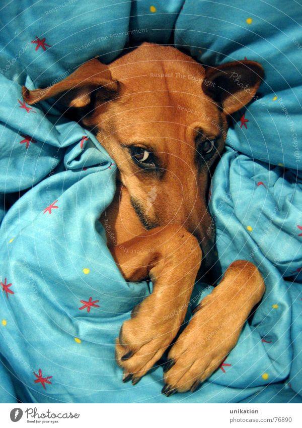 Aber Großmutter... [2] Hund Bett Bettdecke Kissen verpackt träumen Halbschlaf kalt Winter frieren Pfote Schnauze Schielen Rotkäppchen Märchen Böser Wolf
