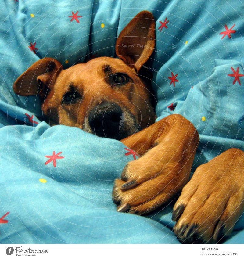 Aber Großmutter... [3] Hund Bett Bettdecke Kissen verpackt träumen Halbschlaf kalt Winter frieren Pfote Schnauze Rotkäppchen Märchen Böser Wolf unhygienisch