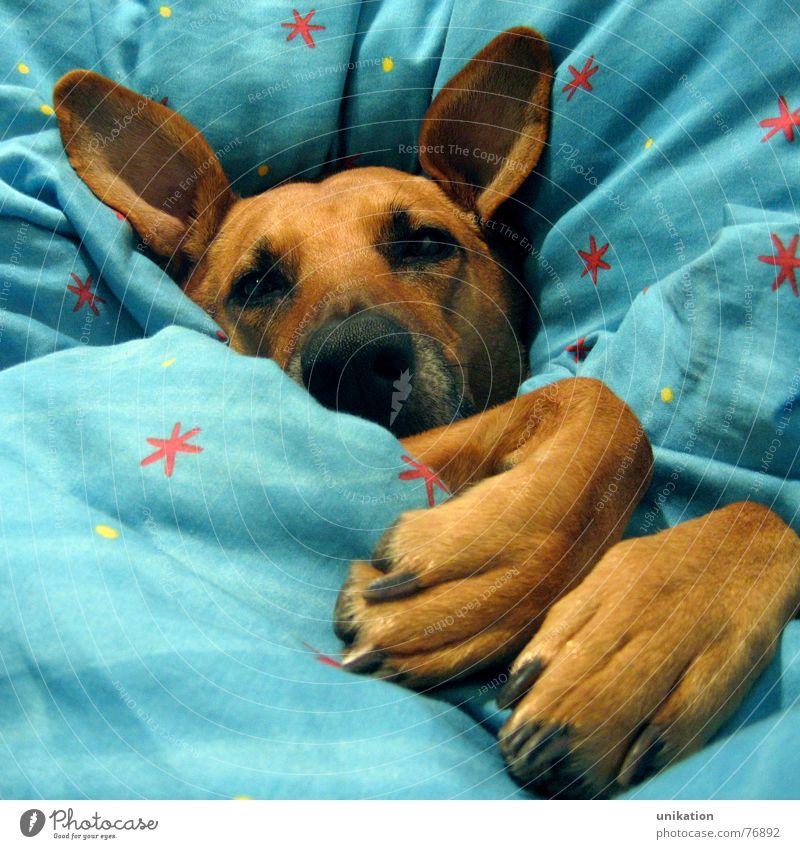 Aber Großmutter... [4] Hund Bett Bettdecke Kissen schlafen verpackt träumen Halbschlaf kalt Winter frieren Pfote Schnauze Rotkäppchen Märchen Böser Wolf