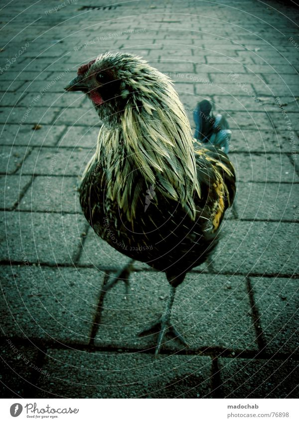 DER LANGE LARRY Tier Leben Gefühle lustig Vogel Arbeit & Erwerbstätigkeit außergewöhnlich verrückt Ernährung Feder Haushuhn live Gully Vorgesetzter Lebensraum Hahn