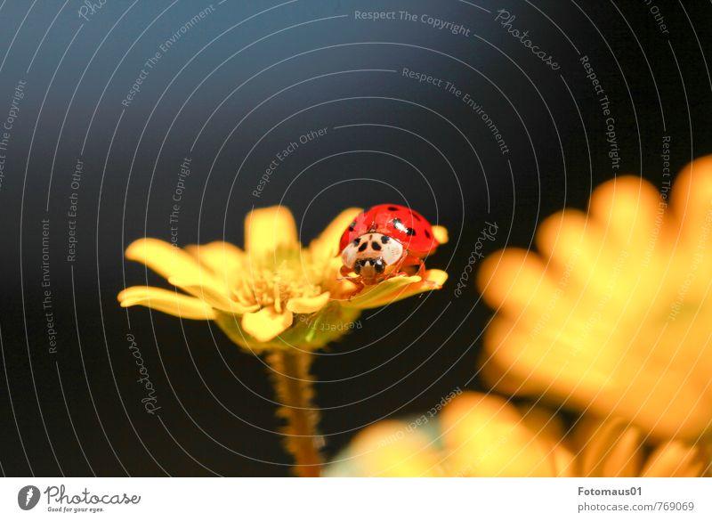 sonniges Plätzchen - Siesta II Natur Frühling Sommer Schönes Wetter Blume Blüte Topfpflanze Tier Käfer Marienkäfer 1 Blühend Erholung träumen frei Fröhlichkeit