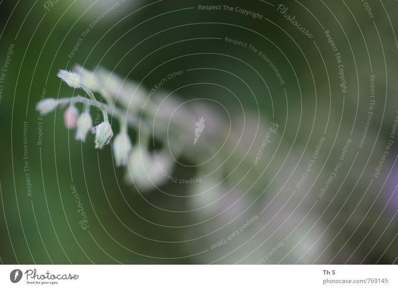 Frühling Natur schön grün weiß Pflanze Sommer ruhig natürlich rosa elegant Wachstum authentisch ästhetisch Blühend Gelassenheit