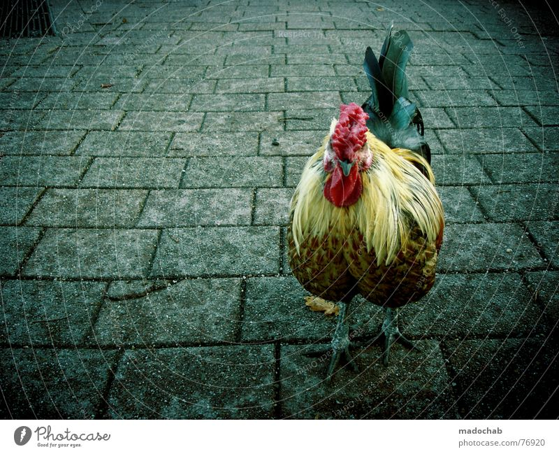 CHICK CHICK ME | rooster hahn gockel chef boss vorgesetzter Tier Leben Vogel Arbeit & Erwerbstätigkeit außergewöhnlich Ernährung Feder mehrfarbig Haushuhn live