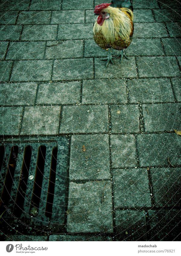 CONCRETE BASTARD Hahn Vogel Tier außergewöhnlich Lebensraum mehrfarbig Haushuhn live Ernährung Gully Gefühle bird chicken animal animals birds concrete Kamm