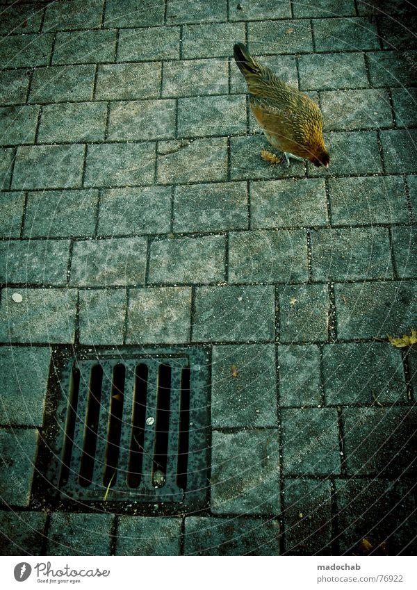 NUR DER FRÜHE HAHN... Hahn Vogel Tier außergewöhnlich Lebensraum mehrfarbig Haushuhn live Ernährung Gully bird chicken animal animals birds concrete Kamm Feder