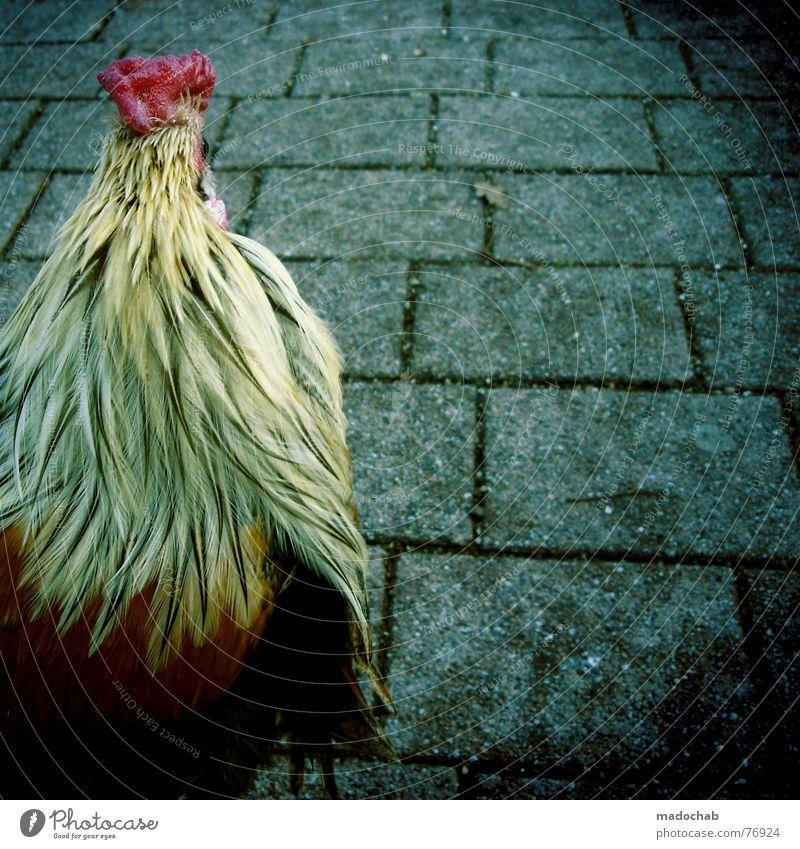 KING OF THE JUNGLE Tier Leben Vogel außergewöhnlich Ernährung Feder Haushuhn live Lebensraum Hahn Kamm