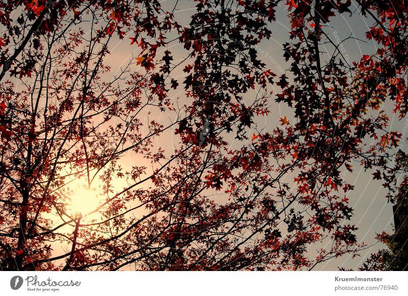Der letze Sonnentag??? Herbst Sonnenlicht Baum Blatt gelb rot Himmel Sommer Zweig orange oranges licht gelbes licht sun sunshine sunlight red rote blätter sky