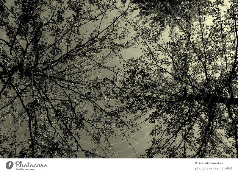 Baumverhältnis!? 2 Herbst Sommer Himmel unten gelb schwarz weiß Blatt Physik Warmes Licht kalt Baumstamm Baumkrone Natur sky gelbes licht sun Schwarzweißfoto