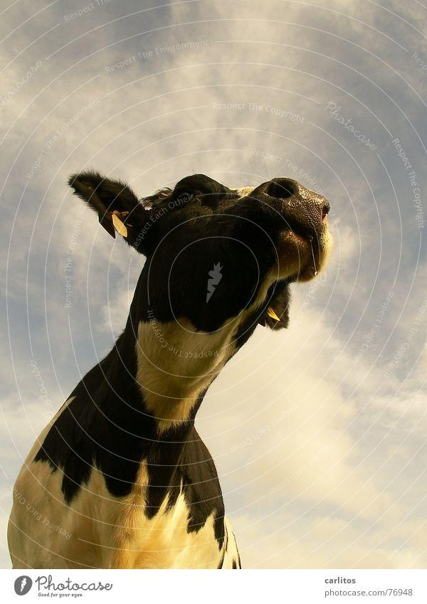 schumadomado, ich sing nur .... Tier Wiese lustig verrückt Neugier Landwirtschaft Kuh Weide diagonal Interesse Lied Landleben Speichel sabbern