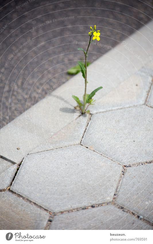HH-Peute | blümchen. Garten Natur Frühling Pflanze Blume Blüte Straße Wege & Pfade Stein Beton Blühend natürlich wild gelb grau grün Frühlingsgefühle Kraft
