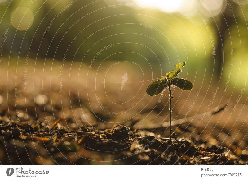 Wachse! Umwelt Natur Pflanze Erde Baum Grünpflanze Wald Wachstum klein nachhaltig natürlich braun grün Stimmung Umweltschutz Zukunft Setzling Nachkommen