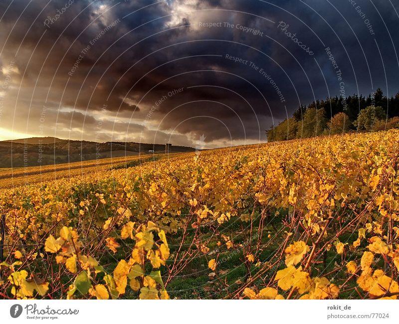 Jetzt ist´s vorbei ... mit dem goldenen Herbst Wein Kiedrich Wolken Weinberg dunkel gelb Sonnenuntergang bedrohlich Blatt Wald Berghang Gold Abend Rheingau