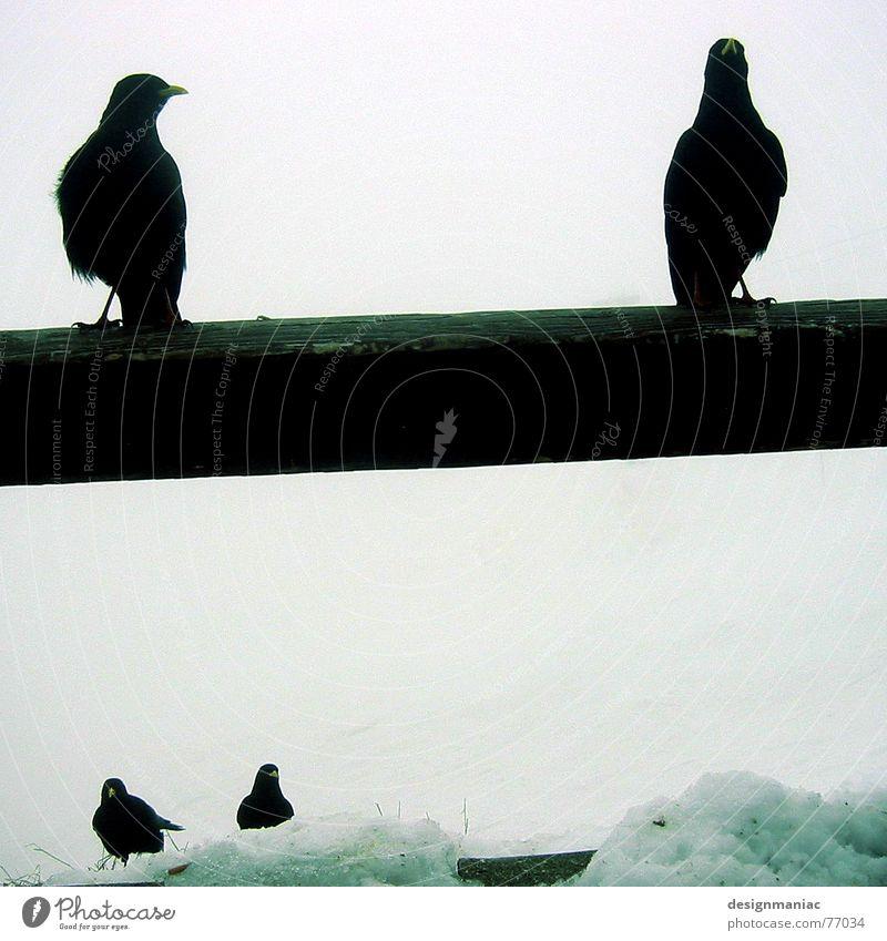 Schwarze Wächter Rabenvögel schwarz weiß kalt dunkel 4 Stab Österreich Nebel Schlamm Holzzaun Zaun Märchen mystisch Die drei Musketiere Hexe Zauberer Schnabel