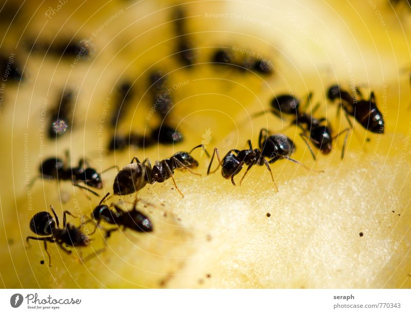 Ameisen Essen Menschengruppe Lebensmittel Arbeit & Erwerbstätigkeit wild Aktion Frucht frisch Ernährung Güterverkehr & Logistik Lebewesen Insekt Teamwork