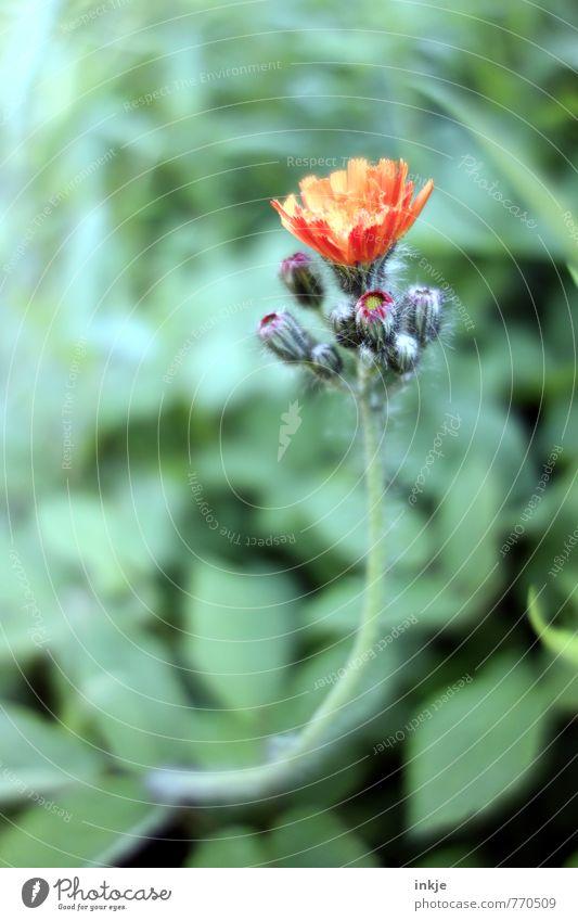 zur Sonne, zur Freiheit Umwelt Natur Pflanze Frühling Sommer Blume Blatt Blüte Garten Blühend Wachstum frisch natürlich schön grün orange Optimismus strecken