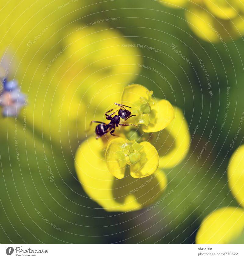 klein Umwelt Natur Pflanze Sommer Klima Blume Blüte Wiese Tier Insekt Ameise 1 gelb grün krabbeln Makroaufnahme sommerlich Farbfoto mehrfarbig Außenaufnahme