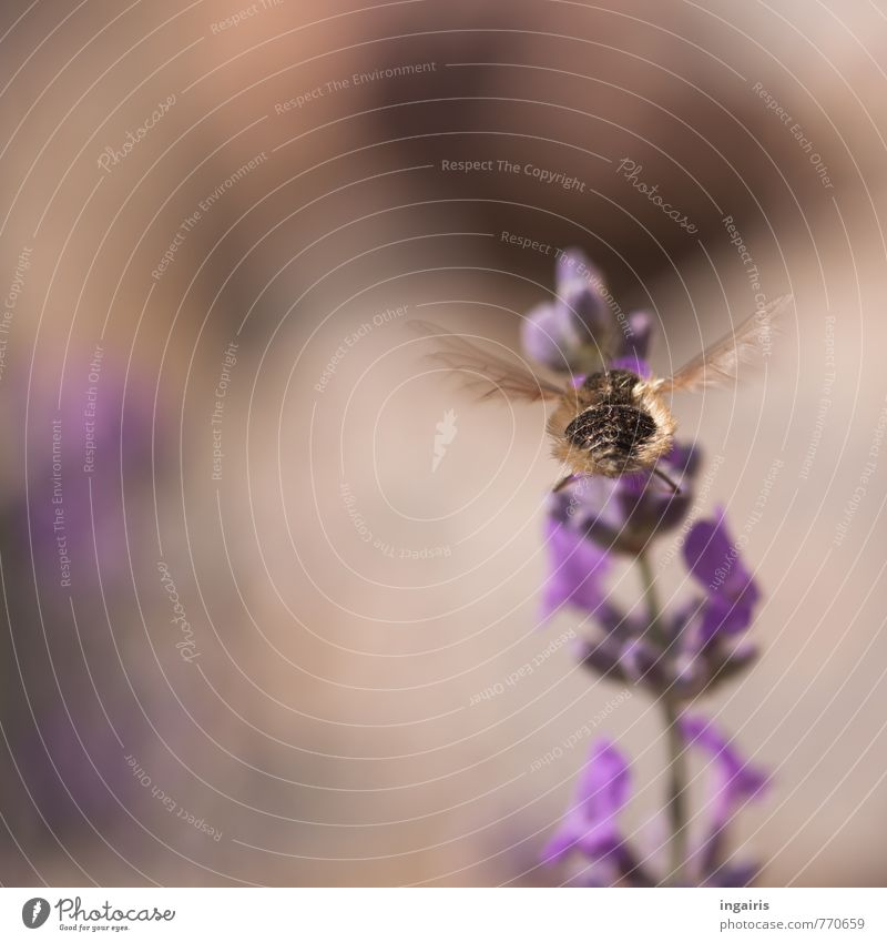 Kleiner Wollschweber Natur Pflanze Sommer Blume Tier Blüte Bewegung natürlich fliegen braun Stimmung leuchten frei Idylle violett Glaube