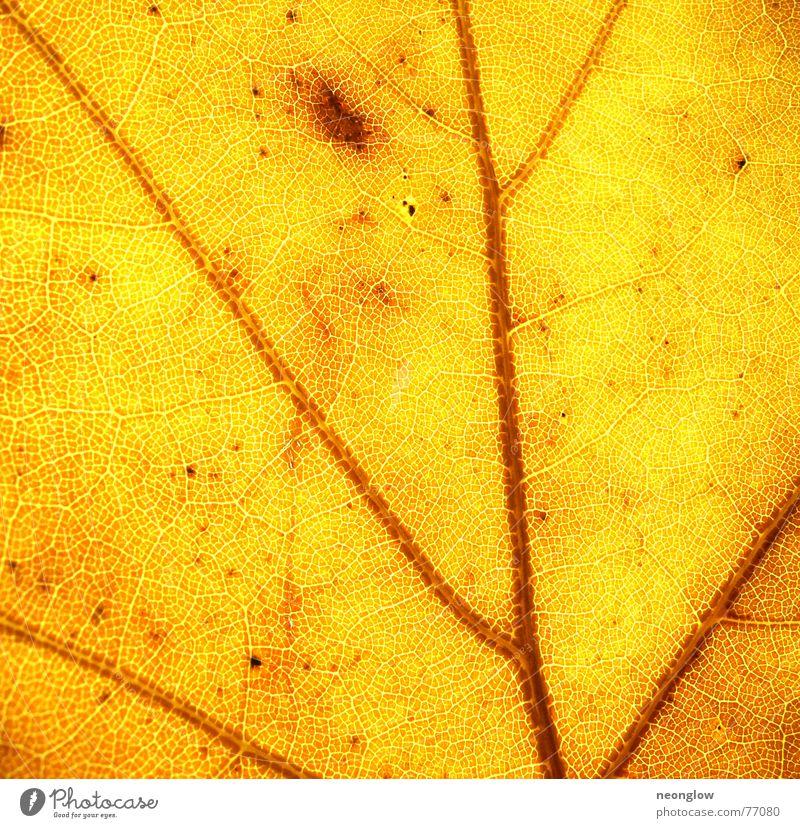 Gold in den Venen Blatt gelb Lampe Herbst Stimmung braun gold Blut Gefäße