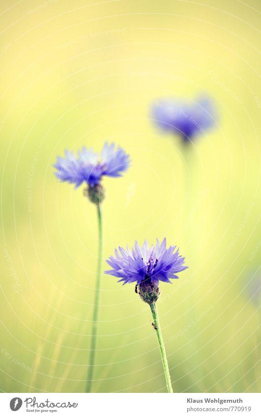 Sommerduft 2 Ferien & Urlaub & Reisen Umwelt Natur Landschaft Pflanze Blume Wildpflanze Kornblume Garten Feld Blühend Duft Freundlichkeit schön blau gelb gold