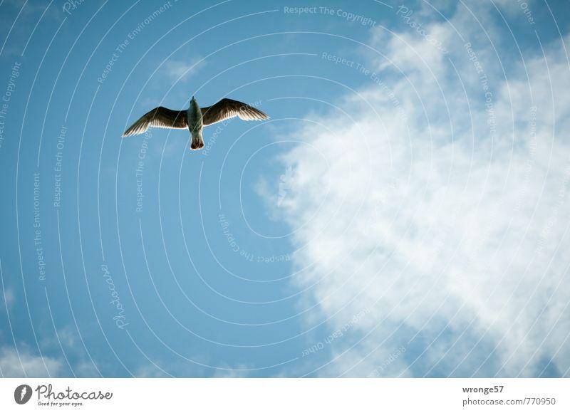 Überflug Himmel blau Sommer Wolken Tier Vogel elegant Wildtier Schönes Wetter Möwe Blauer Himmel Vogelflug Möwenvögel himmelwärts Wolkenhimmel gleiten