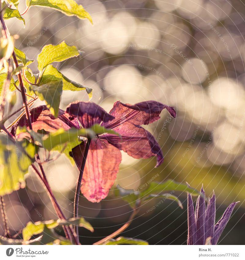 GegenlichtKlematis Natur Pflanze Glück hell Garten Schönes Wetter Blühend Blütenknospen Frühlingsgefühle Kletterpflanzen Clematis