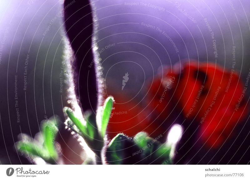 Knospe im Gegenlicht Blüte Blume rot grün violett Licht Unschärfe aufwachen Wachstum Makroaufnahme Blütenknospen kleine häarchen Schatten offene blende