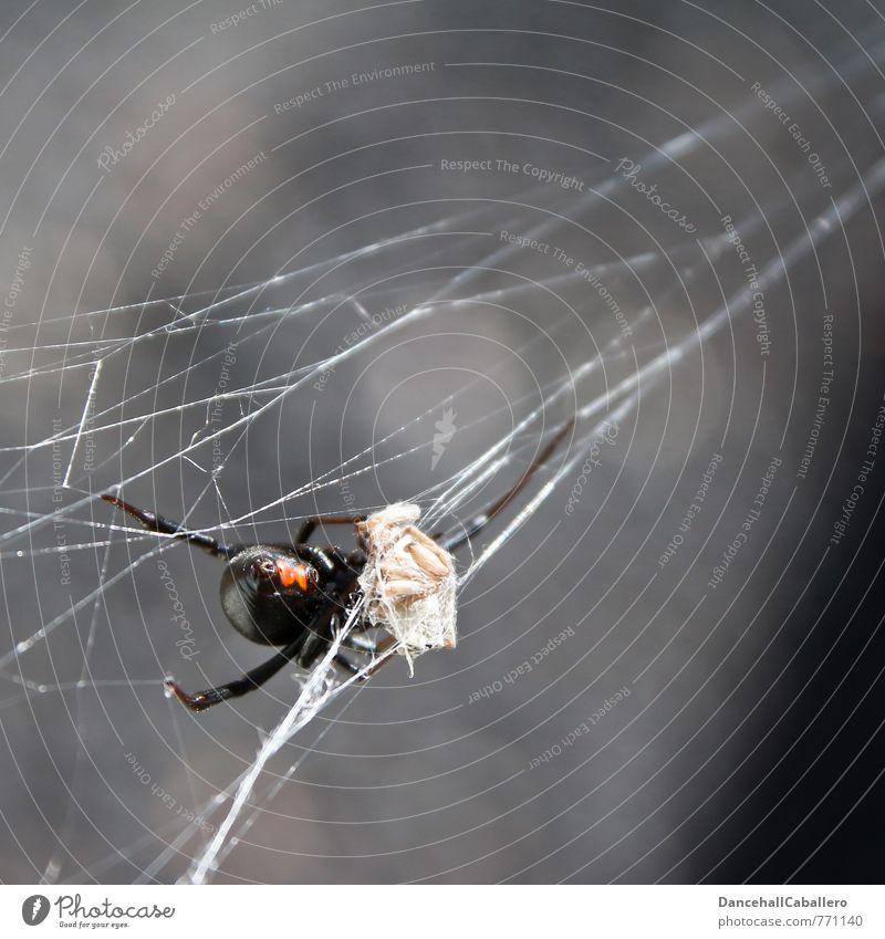Schwarze Witwe I Beute Natur rot Tier schwarz dunkel Tod grau Essen Angst gefährlich bedrohlich Todesangst gruselig Appetit & Hunger Jagd Verzweiflung