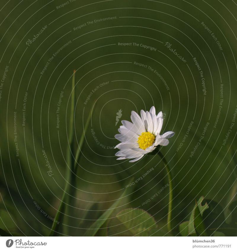 Einmal im Rampenlicht stehen... Natur Pflanze Frühling Sommer Blume Gras Blüte Wildpflanze Gänseblümchen Wiese Wiesenblume Blühend leuchten Wachstum ästhetisch