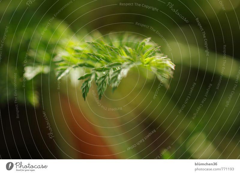 bodenständig| Karottenbeet Natur Sommer Pflanze Blatt Nutzpflanze Möhre Wachstum einfach Gesundheit natürlich grün orange Ernährung Wurzelgemüse Gemüse