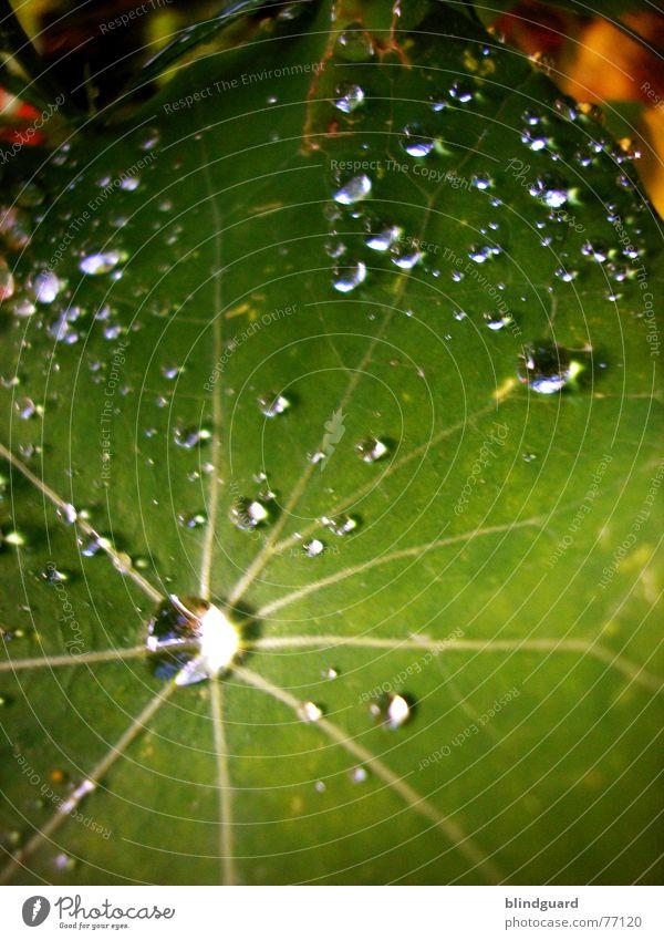 Tropfenkosmos Blatt grün nass frisch Licht glänzend nah Makroaufnahme Regen blitzen Wasser Herbst Tränen flüssiges silber Wassertropfen Reflexion & Spiegelung